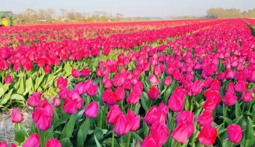 オランダ:チューリップ畑 ~地平線までカラフル~
